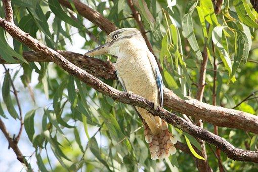 Kookaburra, Bird, Australia, Kingfisher, Feather, Beak