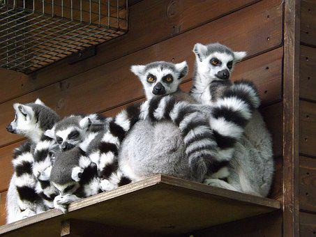 Lemur, Wildlife, Animal, Primate, Zoo, Cute