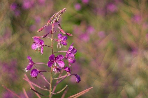 Flower Wild, A Flower Of The Field, Pink, Meadow