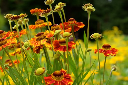 Sneezeweed, Flower, Orange, Bloom, Summer, Garden