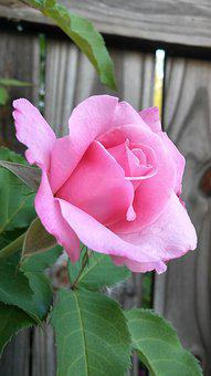 Flower, Pink Rose, Blurry Wood Fence Background