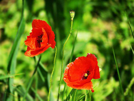 Poppies, Plants, Flowers, Red, Plant, Flower, Blooms