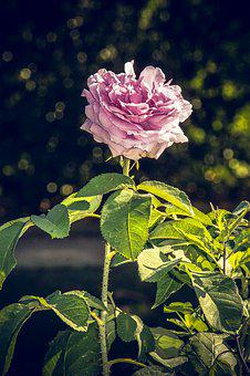 Rose, Blossom, Bloom, Close, Rosaceae, Velvet