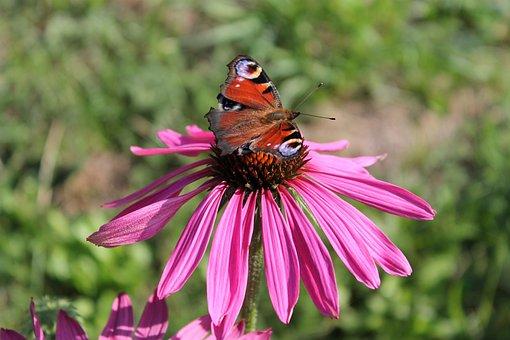 Peacock, Butterfly, Flower, Summer, Peacock Butterfly