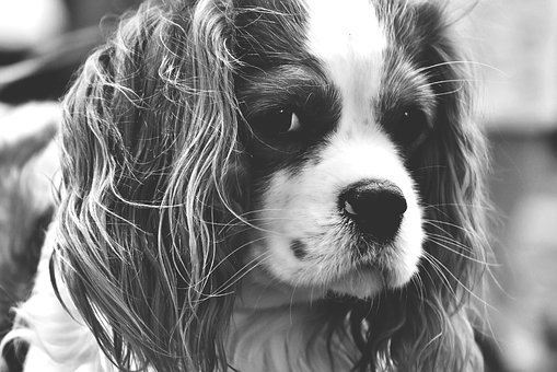 Dog, Cavalier King Charles Spaniel, Black And White