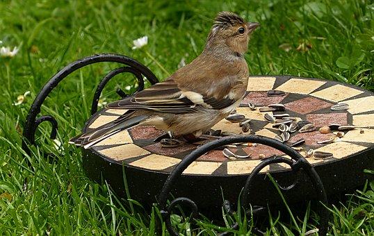 Bird, Chaffinch, Fringilla Coelebs, Feeding, Garden