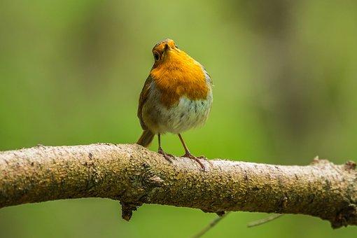 Bird, Spring, Redbreast, Nature