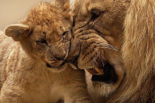 Lion, Animal, Predator, Big Cat, Wild, Panthera Leo