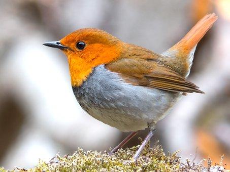 Robin, Bird, Japanese Robin, Wildlife, Animal, Nature
