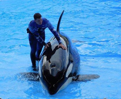 Orca, Killer Whale, Show, Animal, Seaworld