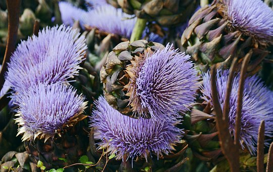 Artichokes, Artichoke Flower, Artichoke Plant, Exotic