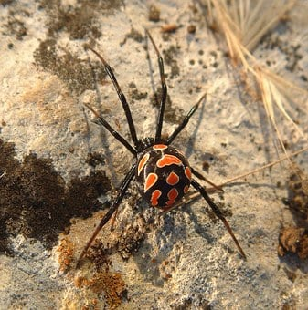 Spider, Black Widow, Red, Black, Creepy