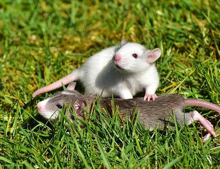Rat, Rat Babies, Needy, Cute, Nager, Sweet, Baby