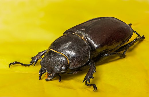 Beetle, Lucane Kite, Female, Insect, Nocturnal Insect