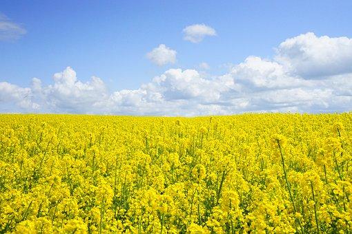 Field Of Rapeseeds, Oilseed Rape, Blütenmeer, Yellow