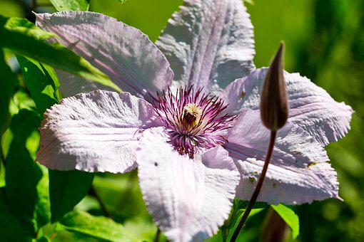 Clematis, Blossom, Bloom, Pink, Climber, Nature, Close