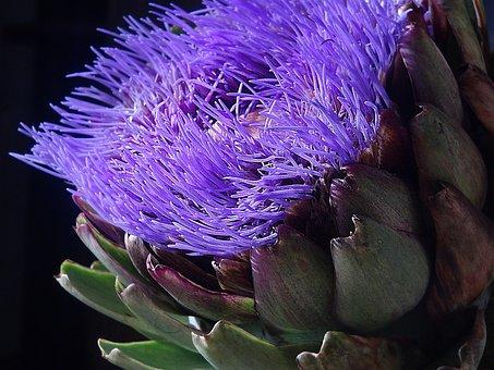 Artichoke, Blossom, Bloom, Purple, Bloom, Plant, Violet