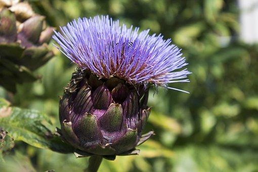 Artichoke, Flower, Purple, Nature, Bloom, Summer, Food