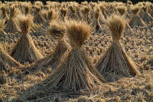Straw, Rice, Grain, Field, Farm, Rural, Sheaths