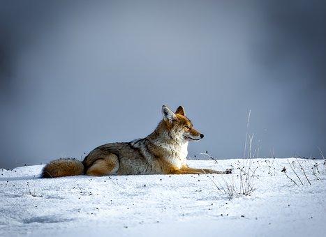 Coyote, Animal, Wildlife, Snow, Winter, Yellowstone