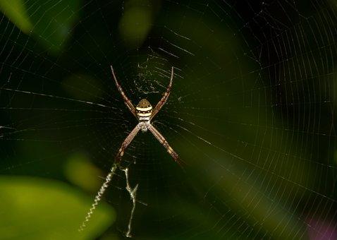 Spider, Spider Web, St Andrews Cross Spider, Web, Cross