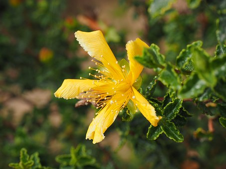 St John's Wort, Blossom, Bloom, Yellow, Leaves, Jagged