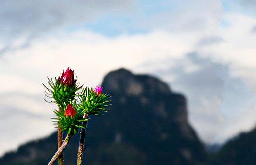 Thistle, Mountain, P, Plant, Flora, Mountain Thistle