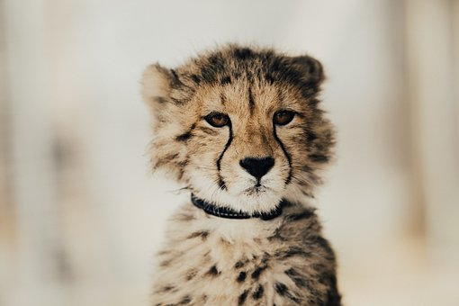 Baby, Leopard, Cheetah