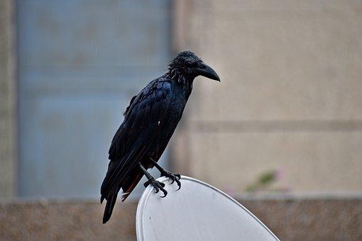Raven, Bird, Drenched, Perching, Corvus Corax