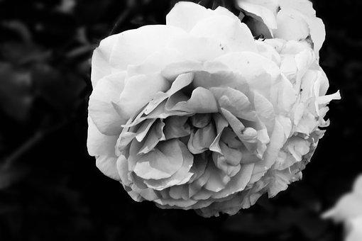 Rose, Flora, Flower, Summer, White, Leaf, Nature