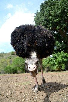 Ostrich, Wild, Animal, Safari, Outdoors, Legs, Eye