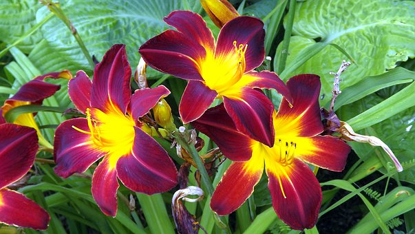 Flowers, Plants, Lilies, Two-tone, Blooms, Garden