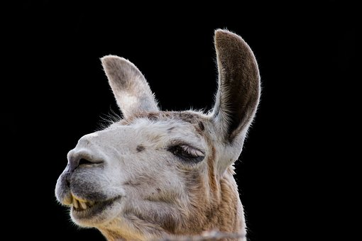 Lama, Animals, Agriculture, Cute, Nature