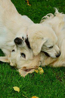 Dogs, Golden Retriever, Playing Dogs, Pet Photography