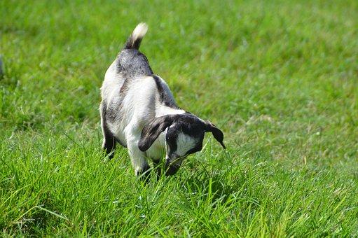 Wild, Wildlife, Kid-goat, Photography, Cute, Adorable