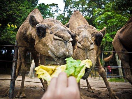 Camel, Animal, Feed, Zoo, Farm