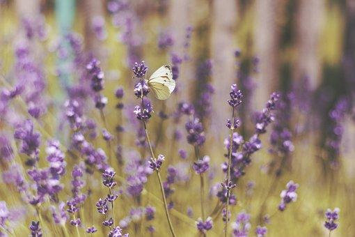 Lavender, Flower, Garden, Field, Farm, Outdoor, Nature