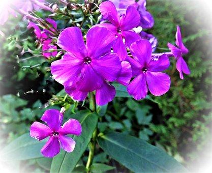 Plant, Flower, Phlox, Flame Flower, Flowers