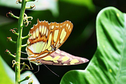 Malachite Butterfly, Siproeta Stelenes, Butterfly