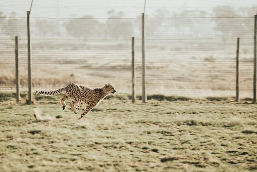 Cheetah, Animal, Wildlife, Leopard, Running, Outdoor