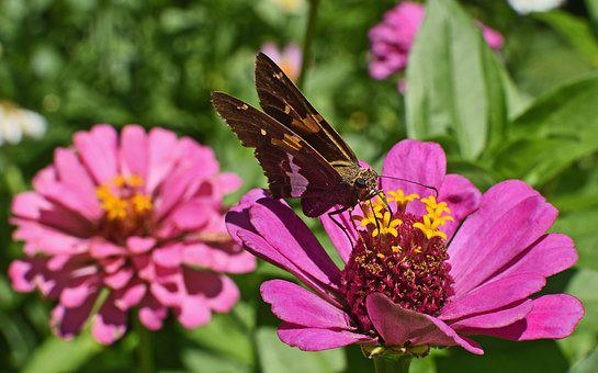 Silver-spotted Skipper On Zinnia, Butterfly, Insect
