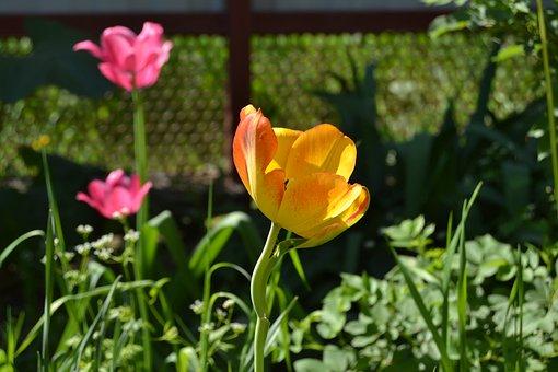 Flowers, Tulip, Yel, Yellow Tulip, Red Flowers, Yellow