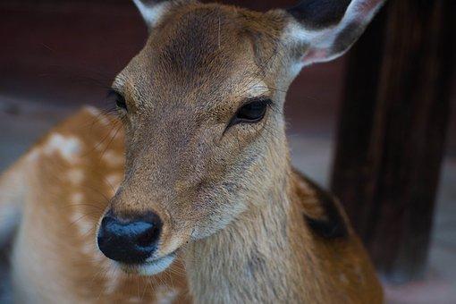 Deer, Animal, Horn, Wildlife