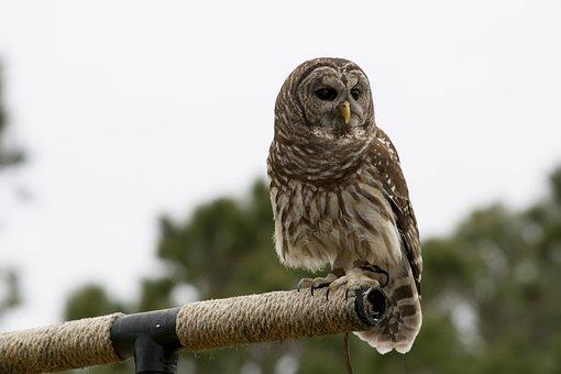 Barred Owl, Owl, Raptor, Bird Of Prey, Animals