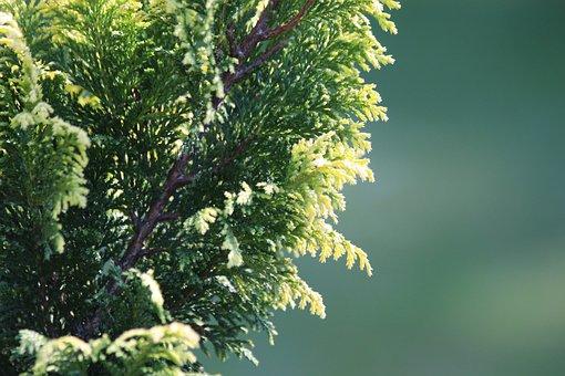 Cypress Gorokhovoy, Chamaecyparis Pisifera, Plant
