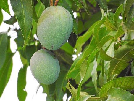 Mango, Mango Tree, Tropical, Food, Fruit, Nature, Tree