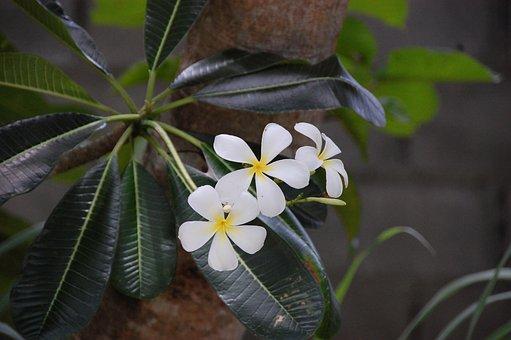 Frangipani, Flowers, Pretty
