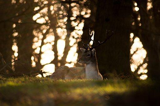 Deer, Animal, Horn, Wildlife, Forest, Mountain, Grass