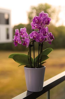 Orchid, Purple, Flower, White, Flower Pot, Pot, Nature