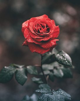 Red, Roses, Flower, Green, Leaf, Plant, Water, Wet